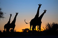 Giraffes (Giraffa camelopardalis) silhouetted against a sunset.<br />