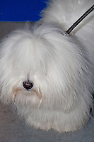 Coton de Tulear photographed at the International Dog Show in Prague May 2014.