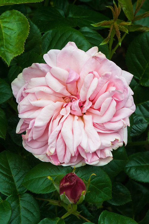 Rosa Aphrodite ('Tan00847'), late May. A fully double, pink shrub rose.