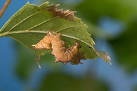 Dromedar-Zahnspinner, Dromedarspinner, Erlen-Zahnspinner, Raupe frisst an Birke, Notodonta dromedarius, Iron Prominent, caterpillar, Le Chameau, Zahnspinner, Notodontidae