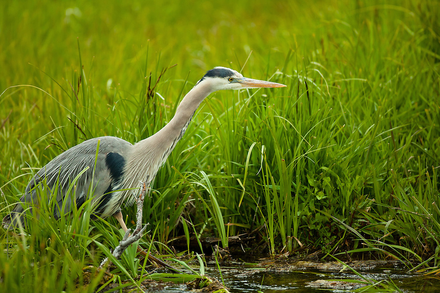 A great blue heron walks through the marshy pond.