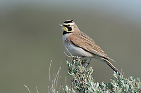 Adult Horned Lark (Eremophila alpestris) perched on sage. Douglas County, Washington. April.