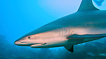 Carcharhinus perezi, Caribbean reef shark, Turks & Caicos Islands