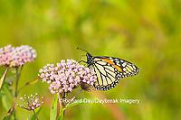 03536-05507 Monarch Butterfly (Danus plexippus) on Swamp Milkweed (Asclepias incarnata), Marion Co., IL