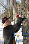 Tapping  maple trees  for producing maple syrup
