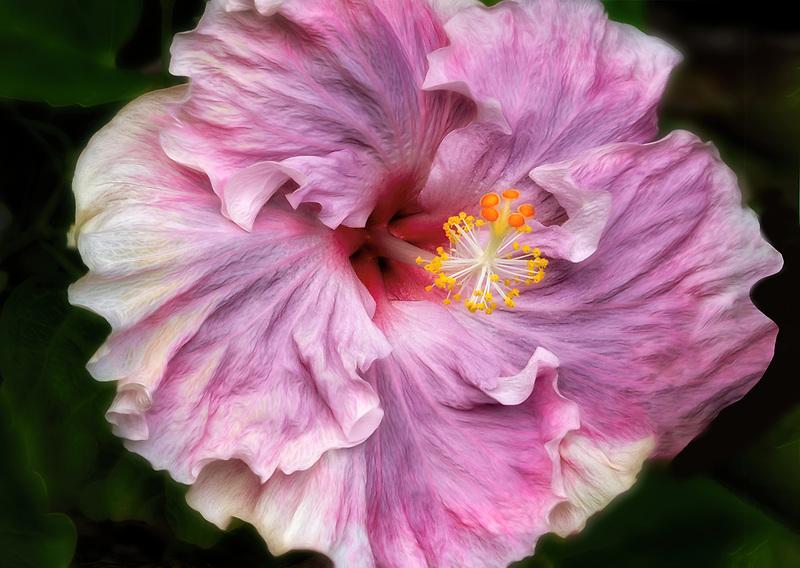 Close up of Hybiscus flower. Hawaii the big island. The island of Hawaii