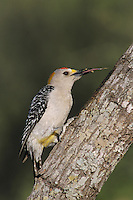 Golden-fronted Woodpecker, Melanerpes aurifrons, male with tongue out, Starr County, Rio Grande Valley, Texas, USA, May 2002