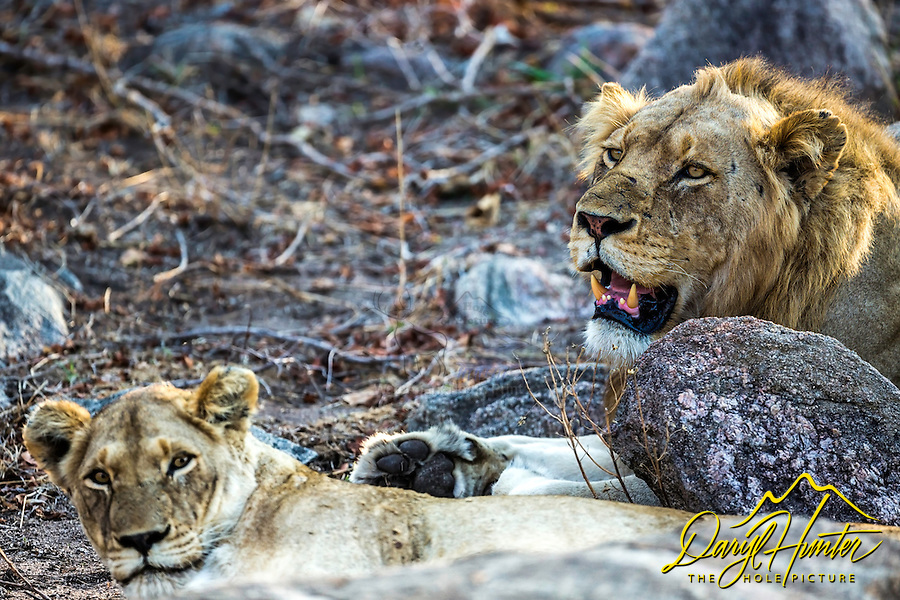 Mating pair of African lions in Kruger National Park of South Africa