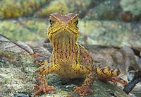Wood Lizard; Enyalioides heterolepis; Ecuador, Esmeraldas; Rio Canande reserve