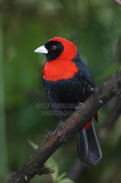 Crimson-collared Tanager, Ramphocelus sanguinolentus, adult perched, Central Valley, Costa Rica, Central America