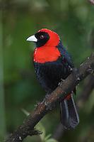 Crimson-collared Tanager, Ramphocelus sanguinolentus, adult perched, Central Valley, Costa Rica, Central America