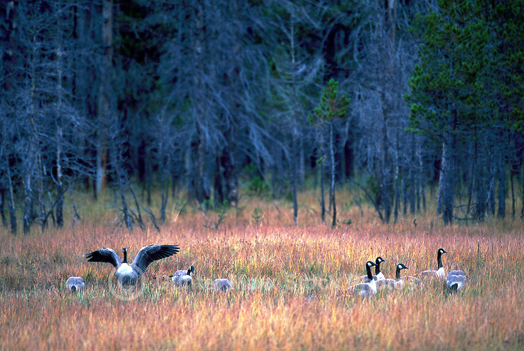 A Flock of Canada Geese (Branta canadensis) grazing in Field beside Coniferous Forest