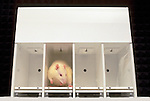 Rat in cage in toxicology lab