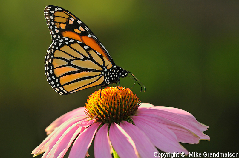 Monarch butterfly on Echinacea flower (purple coneflower)<br /> Bala<br /> Ontario<br /> Canada