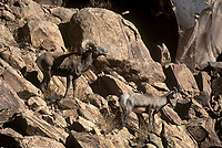 678507912 a wild ram and ewe bighorn sheep ovis canadensis climb a rocky cliff in arches national park utah