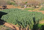 Broad beans growing Botanical gardens at Rodalquilar, Cabo de Gata natural park, Almeria, Spain