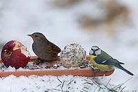 Heckenbraunelle und Blaumeise, selbstgemachtes Vogelfutter, Bodenfütterung mit Apfel, Körnern, Meisenknödel, Fettfutter, Vogelfütterung, Fütterung, Winterfütterung, Winter, Schnee, Hecken-Braunelle, Prunella modularis, Dunnock, hedge accentor, hedge sparrow, hedge warbler, bird's feeding, snow, L'Accenteur mouchet, Blau-Meise, Meise, Meisen, Cyanistes caeruleus, Parus caeruleus, blue tit, La Mésange bleue