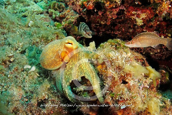 Common octopus, Gemeiner Krake, Gewöhnlicher Krake, Oktopus, Common Octopus, Adria, Adriatisches Meer, Mittelmeer, Kornaten, Dalmatien, Kroatien, Adriatic Sea, Mediterranean Sea, Kornati, Dalmatia, Croatia