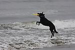 black dog with frisbee