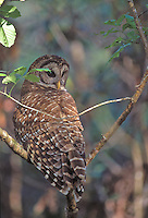 Barred Owl in Corkscrew Swamp, Florida