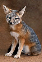 630700003 a captive wildlife rescue kit fox vulpes marcotis in its enclosure at a widlife rescue facility