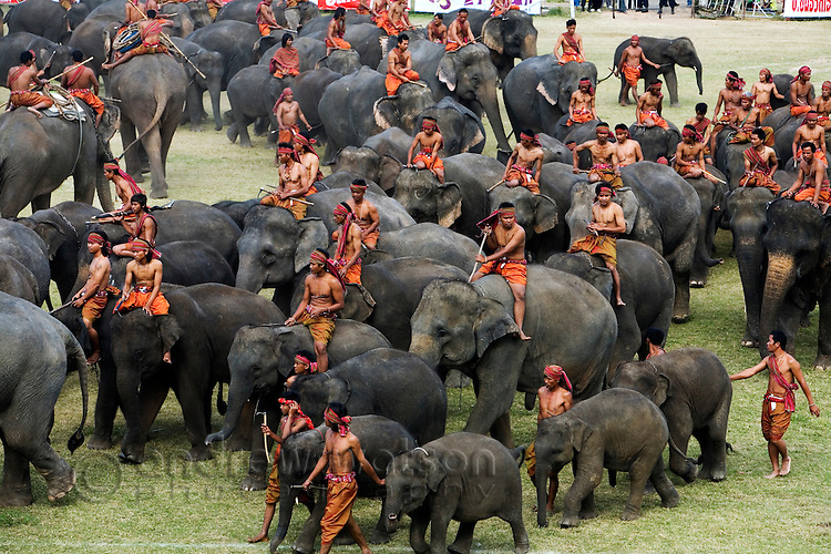 A herd of elephants is gathered in Surin's Srinarong Stadium during the annual Elephant Round-up.  The two day festival celebrates Thailand's elephant history and traditions with games, parades, displays of skill and strength, and ancient war re-enactments.  Surin, Surin, THAILAND