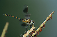 Four-spotted Pennant, Brachymesia gravida, adult on reeds, Welder Wildlife Refuge, Sinton, Texas, USA, May 2005