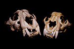 Jaguar (Panthera onca) male and female skull, Jujuy, Argentina