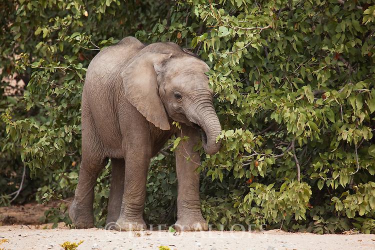 Namibia;  Namib Desert, Skeleton Coast,  desert elephant (Loxodonta africana)  calf