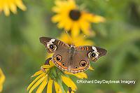 03411-01208 Common Buckeye (Junonia coenia) on Black-eyed Susans (Rudbeckia hirta) Marion Co. IL