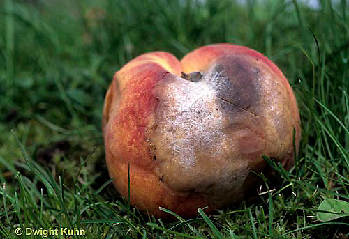 DC21-022e  Mold growing on peach - (decomposition of peach series: DC21-018e,019d,021d, 022e)