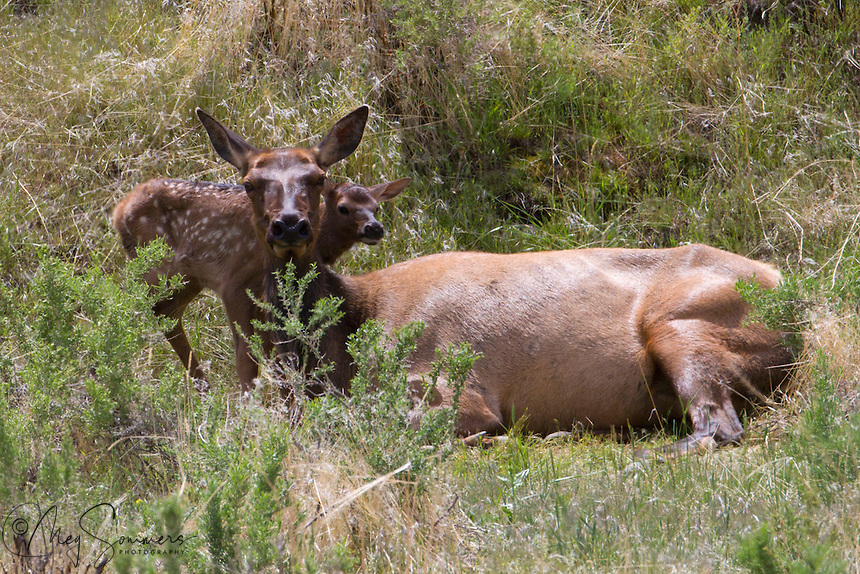 In Yellowstone, elk calves  (Cervus canadensis)are born in late May, early June. This little calf was just hours old and not at all secure in its surrounding just yet.