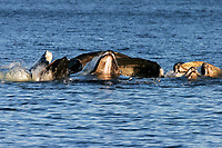 humpback whales, Megaptera novaeangliae, cooperatively bubble-net feeding, Chatham Strait, upper jaw and baleen detail,, Alaska, USA, Pacific Ocean