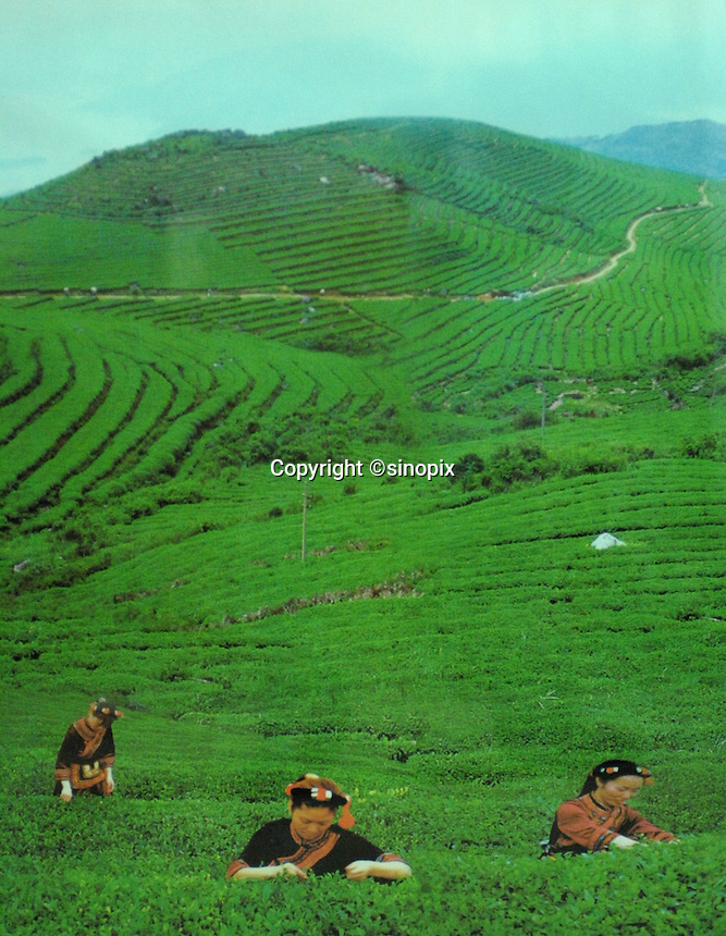 """a """"pick-up"""" showing the """"idyllic"""" harvest time at the  Heng Yuan Chun Tea Farm in the mountains outside Fuding City, Fujian Province holds""""Silver Tip"""" tea.  Workers here are paid around 53 pounds a month during harvest season. The tea sells for upto 20 pounds a pot in the UK."""