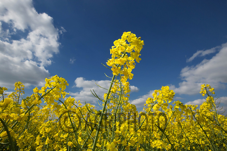 Oilseed rape in flower<br /> Picture Tim Scrivener 07850 303986
