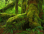 Olympic National Park, WA<br /> A trunk of a Big Leaf Maple (Acer macrophyllum) covered with mosses, lichens and ferns on the Hall of Mosses Trail - located in the Hoh Rain Forest