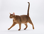 Abyssinian Cat, 9 months old, Male, Chocolate colour - Walking