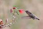 Costa's hummingbird and baja fairy duster