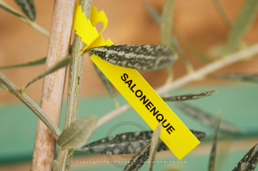 Close up on a small olive tree plant marked with a label with the variety Salonenque. Moulin Mas des Barres olive mill, Maussanes les Alpilles, Bouches du Rhone, Provence, France, Europe