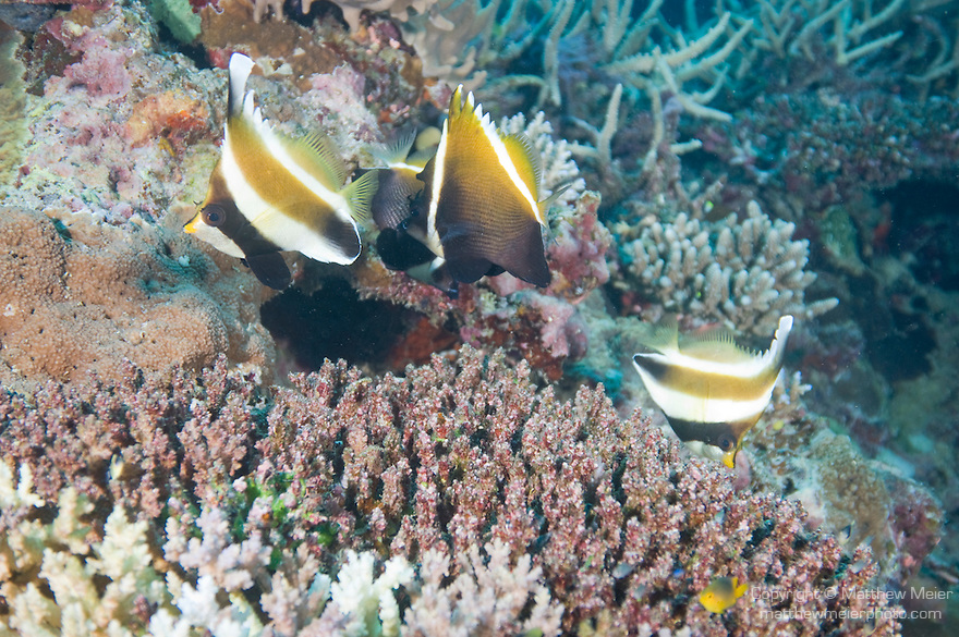Rainbow Reef, Somosomo Strait, Fiji; a pair of Pennant Bannerfish (Heniochus chrysostomus) and a pair of Humphead Bannerfish (Heniochus varius) swim together over the coral reef