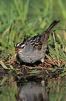 White-crowned Sparrow, Zonotrichia leucophrys, adult drinking, Welder Wildlife Refuge, Sinton, Texas, USA