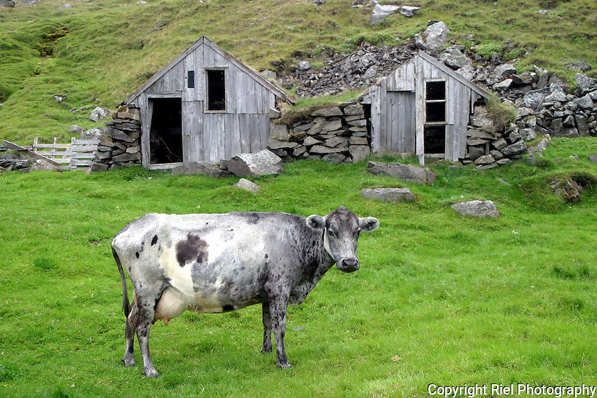 This cow lives near the Arctic Circle in Iceland. The farmer claims this is the most northern farm in the world.
