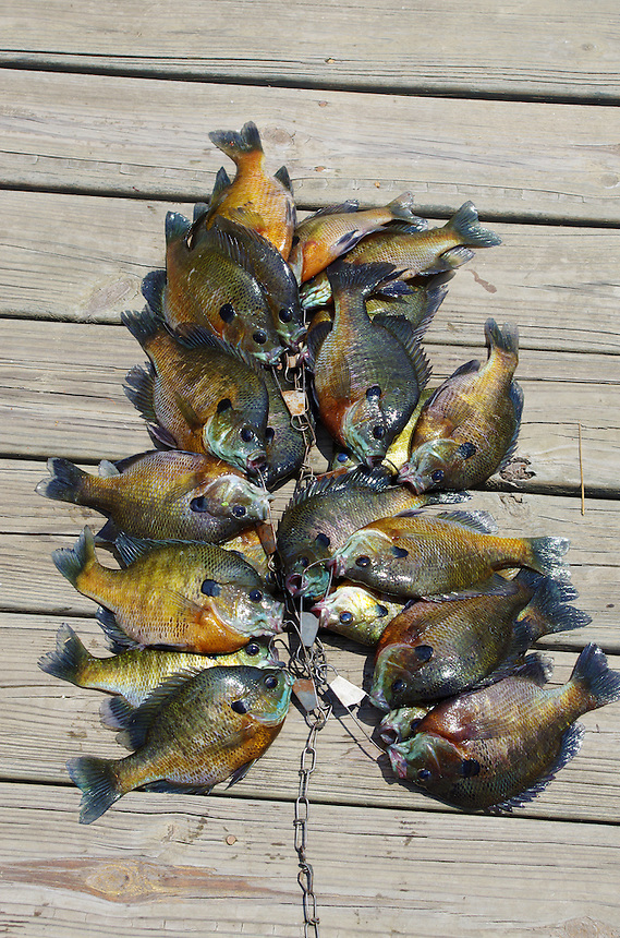 Big stringer of bluegills from farm pond in Clark County, Arkansas