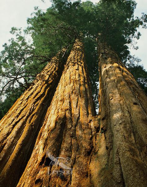 Giant Sequoia trees, Sequoia National Park, California.