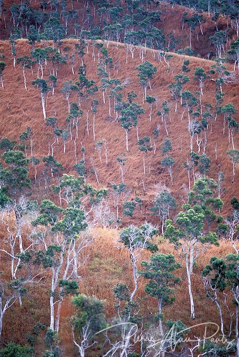 Savane à niaoulis, Nord