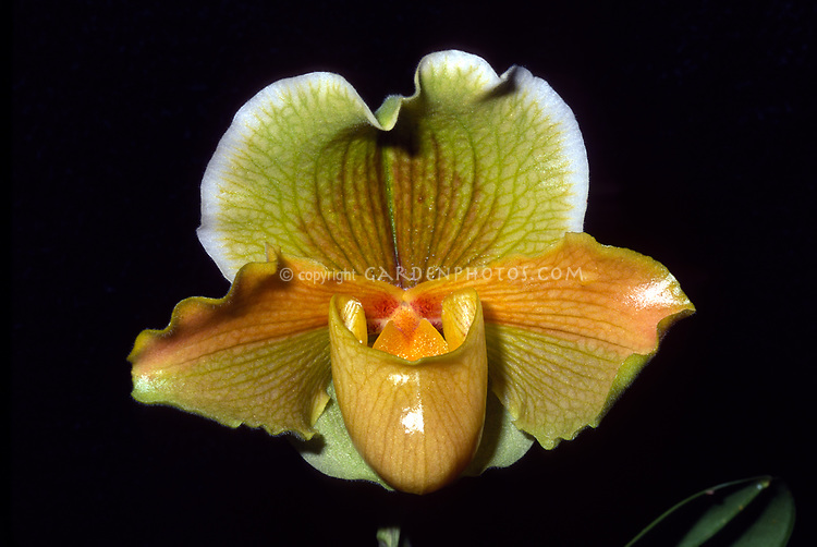 Paphiopedilum Halgwen, 1973 registered hybrid, this cross is of Gwenpur 'Symmetry' x Halo '#59'