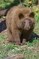 Young Cinnamon Black Bear standing in a clearing