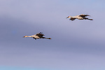 Sandhill cranes (adult and juvenile) flying over Crex Meadows Wildlife Area.