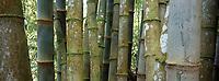 France/DOM/Martinique/Balata/Les jardins: Détail bambous