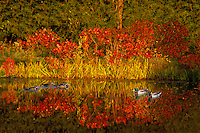 Mallard and wood ducks swimming in rural pond during peak fall foliage